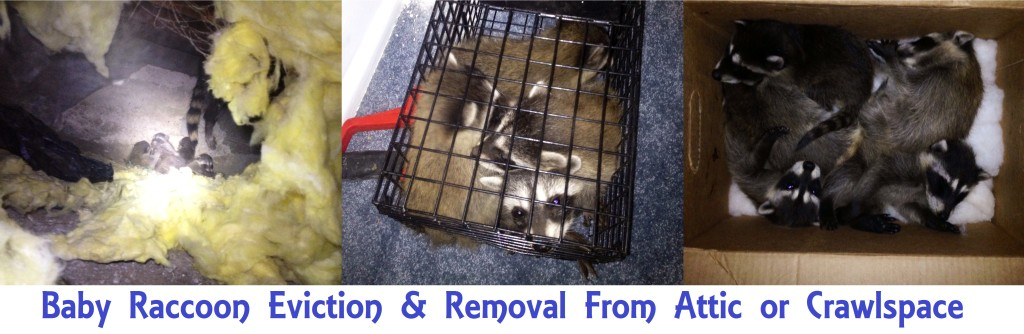 Baby Raccoon Removal form Attic or Crawlspace