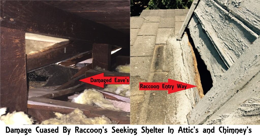 Damages cuased by raccoons
