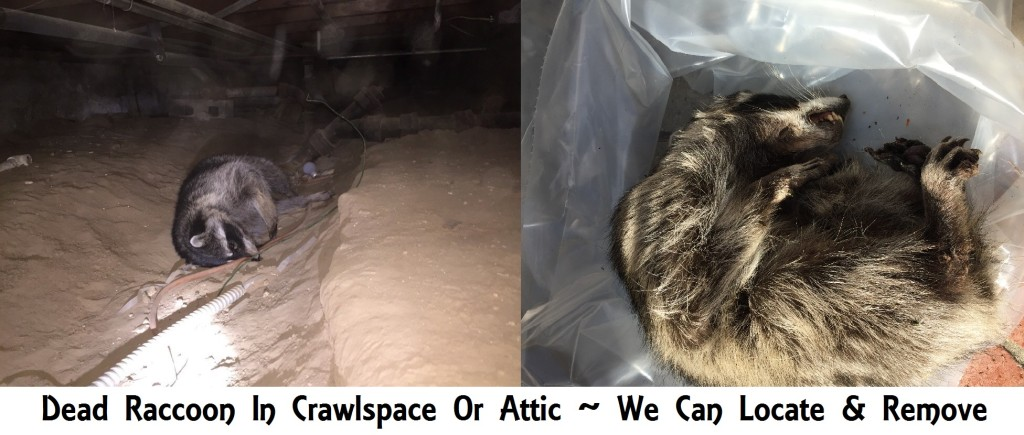 Dead Raccoon Removal in attic or crawlspace