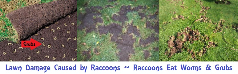 Raccoon food under new sod banner