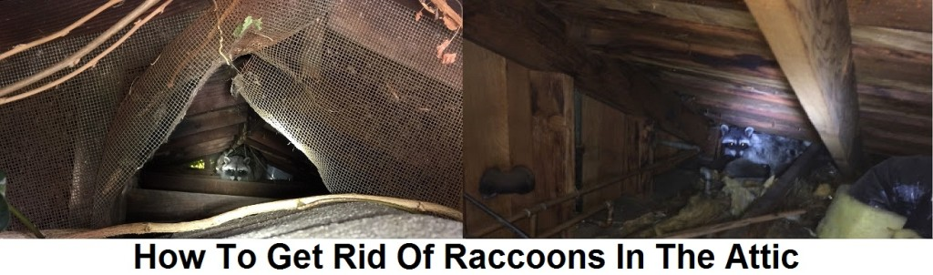 Getting Rid of Raccoons in The Attic