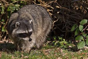 Urban Wild Raccoon